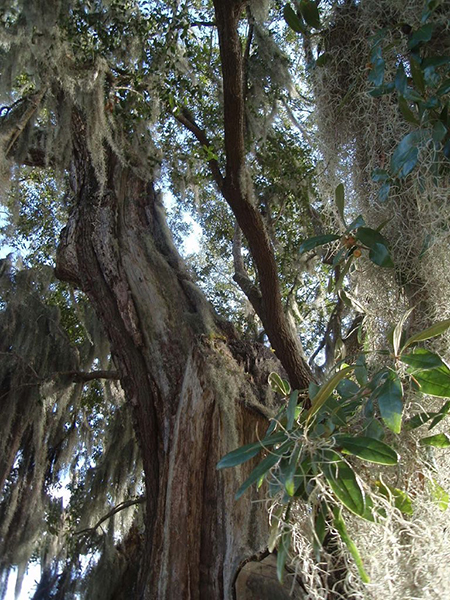 Spanish moss on a tree in historic Charleston. Photograph by Mari Monteiro.