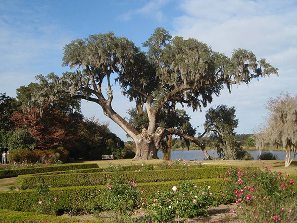 China and Tea roses in front of the Middleton Oak, Middleton Place. Photograph by Mari Monteiro.