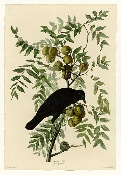American Crow, Plate 156 of John James Audubon's Birds of America, rare book, 1827-1838. Image courtesy of Wikipedia Commons.