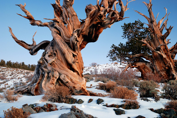 Ancient Bristlecone Pines. Image courtesy of Wikimedia Commons; photograph by Rick Goldwaser.