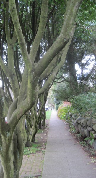 A quartet of trees near Ravenna Park, Seattle. Image by the author.