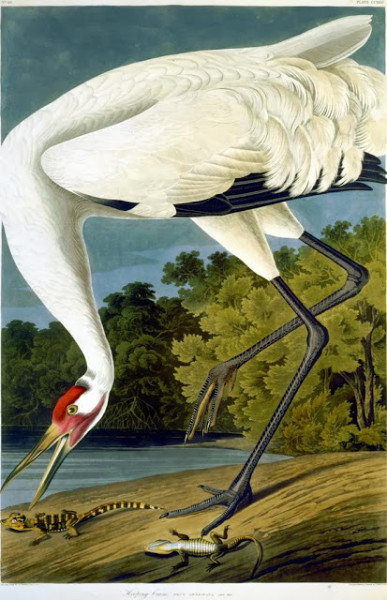 Hooping Crane, Plate 226 of John James Audubon's Birds of America, rare book, 1827-1838. Image courtesy of Wikipedia Commons.